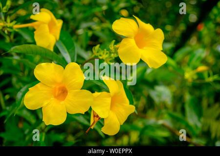 Nahaufnahme eines gelbe Glocke Blütenköpfe in voller Blüte auf die Blauen Berge, Jamaika - Stockfoto