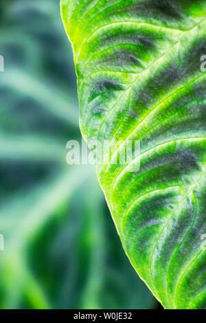 Detail und Marge von einem grünen Blatt, strukturierten Hintergrund - Stockfoto