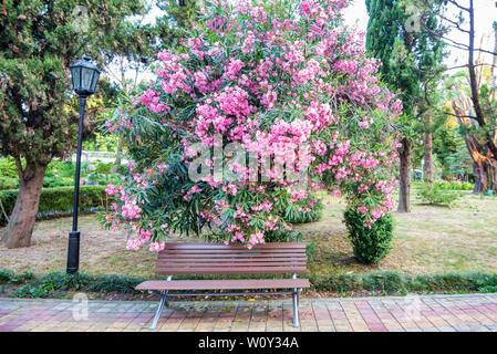 Blühende Strauch von Blumen oder Nerium oleander rosa Blume in Park - Stockfoto