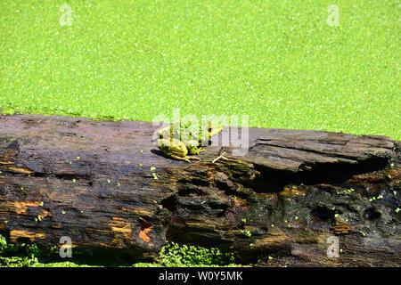 Wasserfrosch, gemeinsame Wasser Frosch oder grünen Frosch, Teichfrosch, Wasserfrosch, Rana esculenta, kecskebéka - Stockfoto