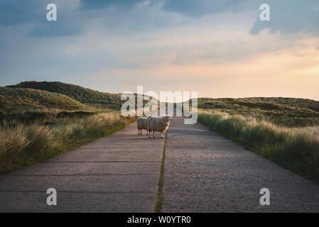 Malerische Landschaft auf Sylt, Deutschland mit zwei Schaf stehend in der Mitte eines leeren Straße, durch die Dünen mit Gras und Moos, in der Dämmerung. - Stockfoto