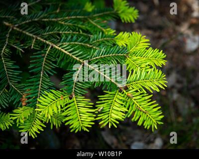 Nahaufnahme einer jungen frischen Zweig des Tanne (Abies alba) - Stockfoto