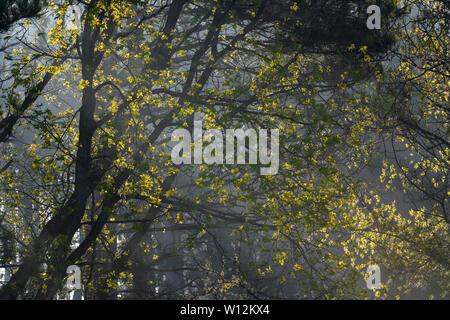 Sunrise und Silber Ahorn Acer saccharinum) eingehüllt in Nebel, Anfang Mai, E USA, von Dominique Braud/Dembinsky Foto Assoc - Stockfoto