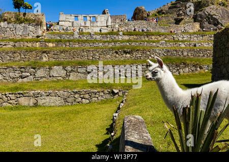 Alpaka in Machu Picchu, Urubamba, Cusco Region, Peru, Südamerika - Stockfoto
