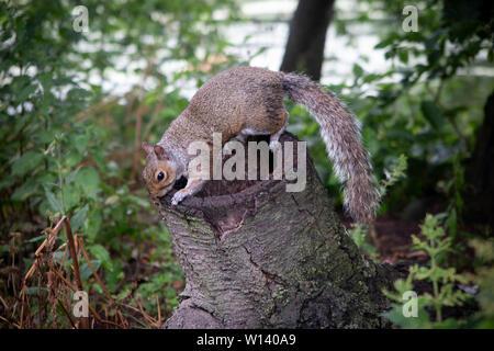 Ein graues Eichhörnchen im St James Park, London - Stockfoto
