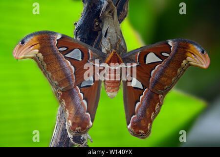 Frisch geschlüpfter Atlasspinner (Attacus Atlas) im Schmetterlingshaus - Stockfoto