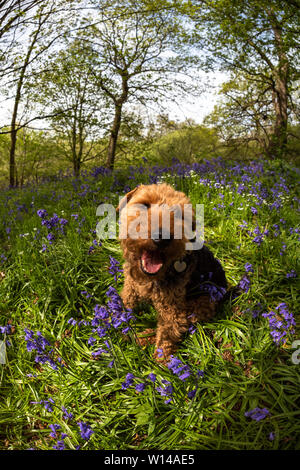 Welsh Terrier in einem Bluebell Wood (Suffolk) - Stockfoto