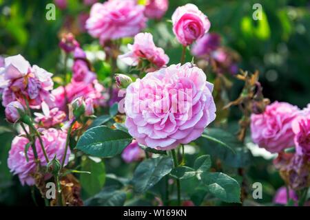 Rosen in voller Blüte: rosa Blüte David Austin strauch Rose, Gertrude Jekyll, blühen in einem Garten in Surrey, England, Großbritannien - Stockfoto