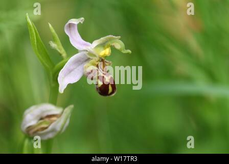 Eine schöne Bienen-ragwurz, Ophrys apifera, wächst in einer Wiese in Großbritannien. - Stockfoto
