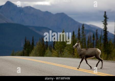 Hirsch Kreuzung Straße in der Nähe von Ford Liard, Northwest Territories, Kanada - Stockfoto