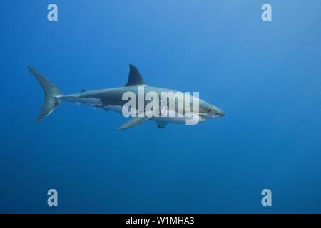 Der weiße Hai, Carcharodon Carcharias, Südafrika - Stockfoto