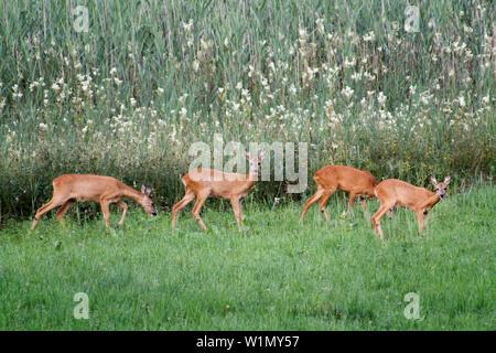 Rehe in der Wiese, weiblich, Hyla arborea, Oberbayern, Deutschland, Europa - Stockfoto