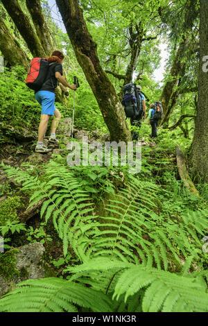 Drei Personen wandern durch Wald mit Farn, Ammergauer Alpen, Oberbayern, Bayern, Deutschland - Stockfoto