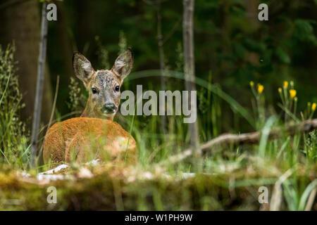 Biosphärenreservat Spreewald, Brandenburg, Deutschland, Erholungsgebiet, Wald, Rotwild in einem Buchenwald, Wildnis, Wildnis - Stockfoto