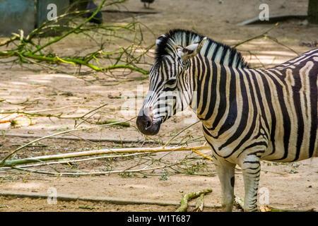 Burchells Zebra mit seinem Gesicht in Nahaufnahme, gemeinsame tropischen Pferd specie aus Afrika - Stockfoto