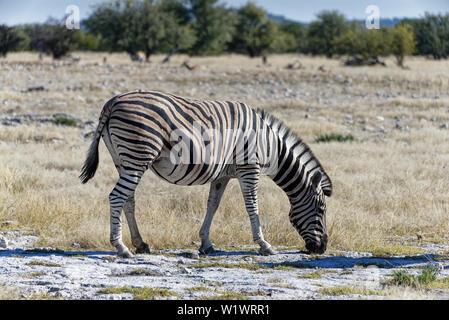 Ein Zebra ist Beweidung auf die afrikanische Steppe, gibt es Green Bush im Hintergrund - Stockfoto