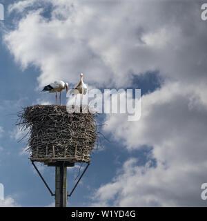 Ein paar Weißstörche, wissenschaftlicher Name Ciconia ciconia, in luftiger Höhe im Storchennest, Frühling - Stockfoto