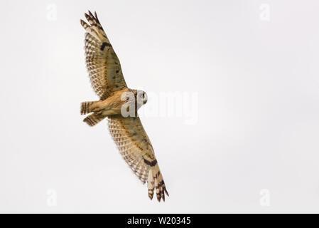Sumpfohreule fliegt durch mit weit gestreckten Flügeln - Stockfoto
