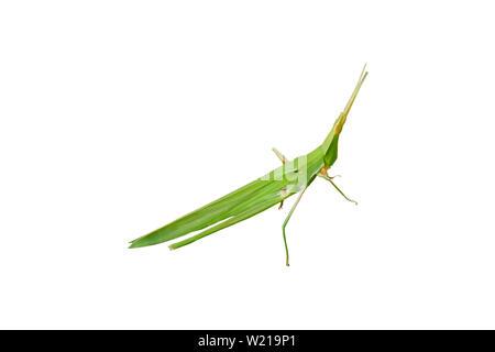 Grüne Heuschrecke auf einem weißen Hintergrund. - Stockfoto