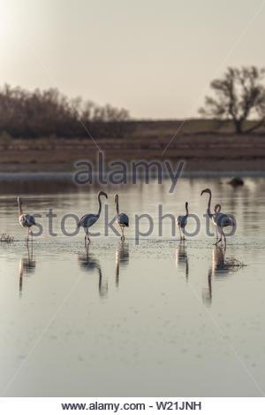 Flamingos in ein Salzwasser im Zentrum von Spanien in der Morgendämmerung - Stockfoto