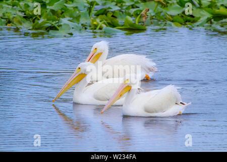 Ein Trio der Pelikane schwimmt entlang eines Baches in der Florida Feuchtgebiete. Obwohl meistens mit dem Strand verbunden, Pelikane können auch im Landesinneren gefunden werden. - Stockfoto