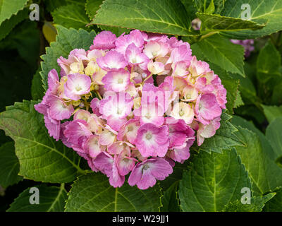 Rosa Hortensien blühen in einem japanischen Wald- und Grünflächen. - Stockfoto