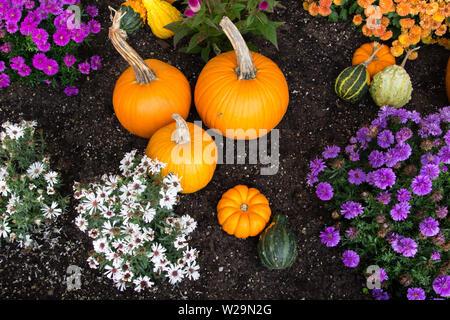 Herbst Ernte Hintergrund. Kürbisse und lebhaften farbigen Chrysanthemen in reichen schwarzen Garten Boden. Von oben mit hellen natürlichen Farbe gedreht. Stockfoto