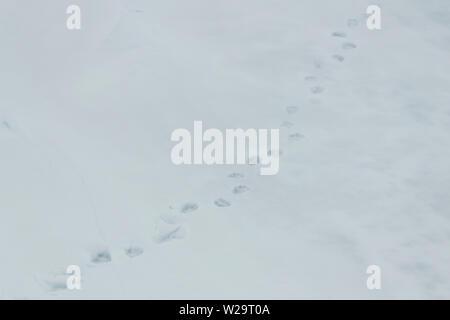 Russland, Russische hohe Arktis rund 80 Grad Nord. Frische Polar bear Tracks auf Packeis. - Stockfoto