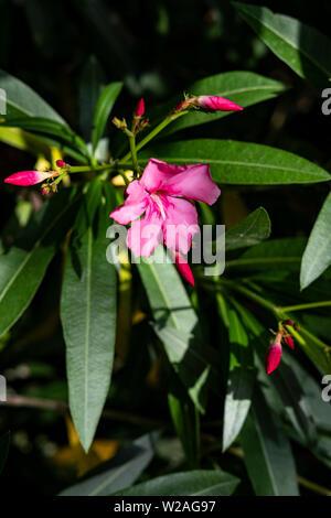 Rosa oleander Blume. Oleader Nerium ist eine gemeinsame immergrünen Garten Strauch besonders im Mittelmeerraum trotz äußerst giftig. - Stockfoto