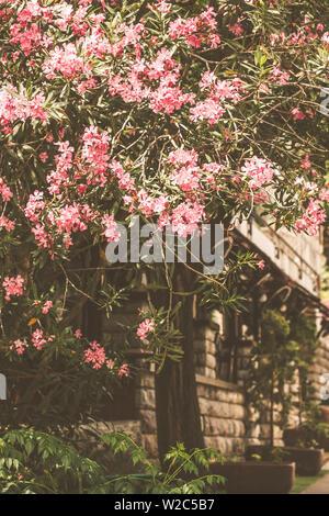 Blühende Blumen der Oleander. Montenegro Blumen auf der Straße. - Stockfoto