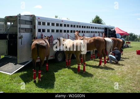 Polo Pferde mit roten Legging zu Anhänger gebunden - Stockfoto