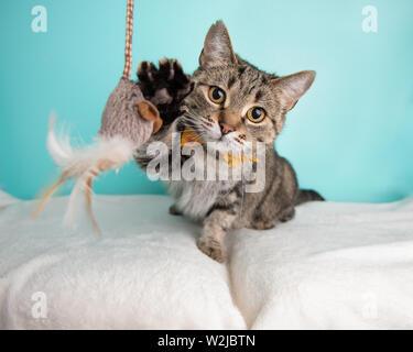Braun Tabby Cat spielt mit einem Spielzeug im Studio - Stockfoto