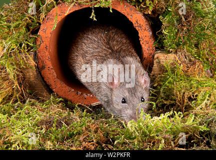 Eine wilde Ratte in ein Studio einrichten, die sich aus einer Wasserleitung - Stockfoto