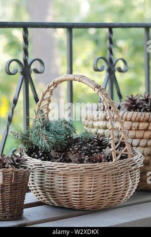 Sammeln von Tannenzapfen. Pine Cone in Weidenkörbe. - Stockfoto