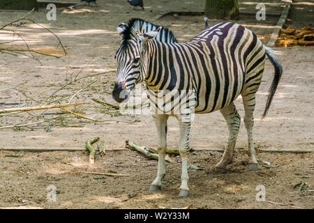 Closeup Portrait einer Burchells Zebra, Gemeinsame tropischen Pferd specie aus Afrika - Stockfoto