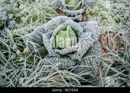 Wirsing, ökologischer Landbau, Velbert, Nordrhein-Westfalen, Deutschland, Europa, (Brassica oleracea convar. capitata var. sabauda) - Stockfoto