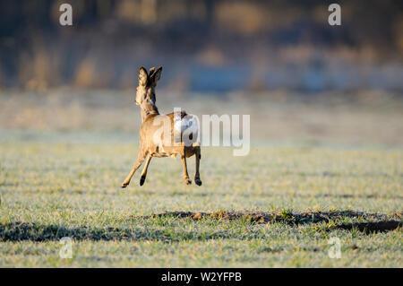 Rehe, männlich, April, Gross Quassow, Mecklenburg-Vorpommern, Deutschland, (Hyla arborea)