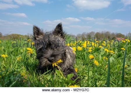 Ein Cairn Terrier Welpen im Gras mit gelben Blumen im Hintergrund - Stockfoto