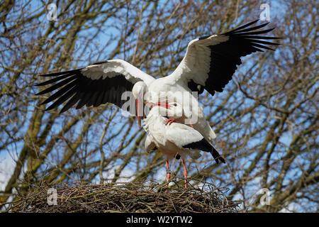 Nahaufnahme der beiden Zusammengehörenden, Störche auf einem Nest hoch oben in einem Baum, besetzt für die Nachwelt