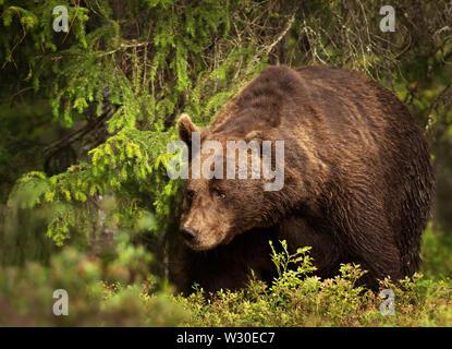 Nahaufnahme eines großen Europäischen Braunbären (Ursos arctos) männlich im borealen Wald, Finnland. - Stockfoto
