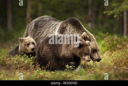 In der Nähe der weiblichen Eurasischer Braunbär (Ursos arctos) und ihren Jungen im borealen Wald, Finnland. - Stockfoto