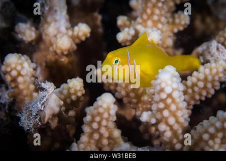 Makro einer Zitrone coral Grundel (Gobiodon ') in einem harten Korallen. Kleine helle gelbe Fisch mit weißen Streifen auf dem Kopf. - Stockfoto
