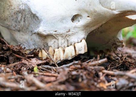 Nahaufnahme der Zähne zu den weißen Schädel eines toten Tier im Wald befestigt. Der Knochen ist das Liegen auf dem Waldboden mit braunen Blätter und Zweige. - Stockfoto
