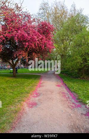 Manchester, Großbritannien - 22 April, 2019: Scenic Frühling Blick auf eine Wicklung Garten Weg gesäumt von schönen Kirschbäume in Blüte Whitworth P - Stockfoto