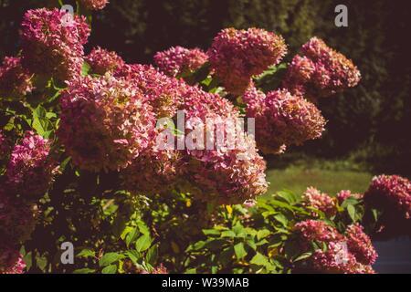 Eine Nahaufnahme von rosa Hortensie Blumen an einem sonnigen Tag mit unscharfen natürlichen Hintergrund - Stockfoto