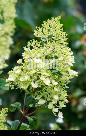 Blume Leiter einer Limelight Hortensie gerade in Blüte kommen - Stockfoto