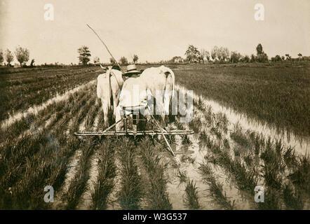 Italienische ländliche Welt der Vergangenheit: Arbeit in Reisfeldern (Vercelli, Italien, 1930) - Stockfoto