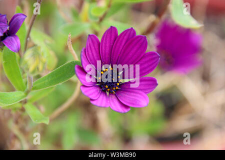 Osteospermum Äther-schlagen Maria 'African Daisy - Stockfoto