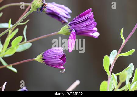 Lila Osteospermum Äther-schlagen Maria 'African daisy flower Köpfe geschlossen bis nach Regen, in Regentropfen fallen - Stockfoto