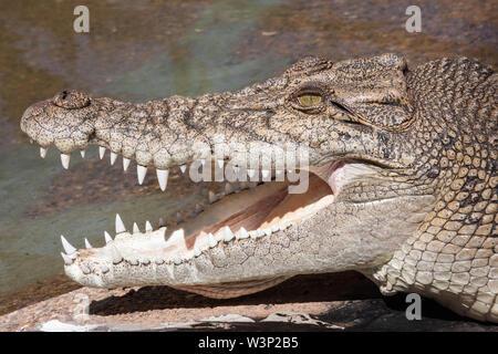 Salzwasser Krokodil mit Mund offen - Stockfoto